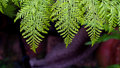 Texture' Green Fern Royalty Free Stock Photo
