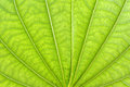 Texture of a green leaf Royalty Free Stock Photos