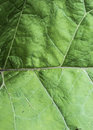 Abstract common lady`s mantle green leaf closeup with raindrops, isolated macro studio shot