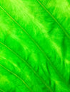 Texture of green leaf a as background Royalty Free Stock Photos