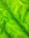 Texture of green leaf a as background Royalty Free Stock Photography