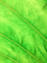 Texture of green leaf a as background Stock Photo