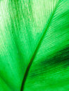 Texture of green leaf a as background Royalty Free Stock Photo