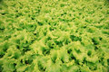 Texture of green leaf lettuce agribusiness Stock Photo