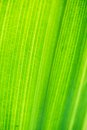 Texture of green leave Royalty Free Stock Photo