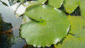 Texture of green lotus leaves in the water Royalty Free Stock Photo