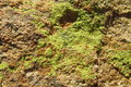 Texture of green moss on the stone Royalty Free Stock Photo