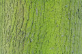 Texture of green old mossy tree bark