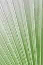 Texture of green palm leaf on softlight monotone sugar Stock Photography