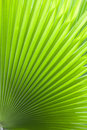Texture of Green palm Leaf.& x28; blur & x29; Royalty Free Stock Photo