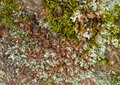 Texture of grey and red lichen and moss on rock Royalty Free Stock Photo