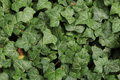 Texture ivy leaves Royalty Free Stock Photo