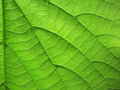 Texture of leaf veins and ribs Royalty Free Stock Photography