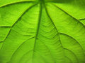 Texture of leaf veins at shallow fod macro Stock Photos