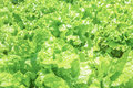 Texture of leaves of fresh lettuce Royalty Free Stock Photo