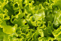Texture of lettuce close-up Royalty Free Stock Photo