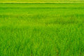 Texture and lines of green and yellow rice field Royalty Free Stock Photo