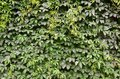 The texture of a lot of flowering green vines from wild ivy that cover a concrete wal Royalty Free Stock Photo