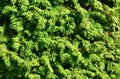 The texture of many branches of green coniferous tree in dayligh