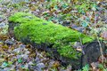 texture of moss on olg tree background Royalty Free Stock Photo