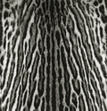 Texture of ocelot skin Stock Photo