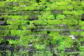 Old wall covered green moss, Fort Rotterdam - Makassar - Indonesia Royalty Free Stock Photo