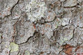 Texture of old tree bark with lichen Royalty Free Stock Photo