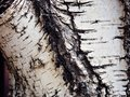 Texture old tree wood, annual growth ring Royalty Free Stock Photo