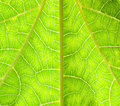Texture of papaya leaf Royalty Free Stock Photos