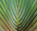 Texture and pattern detail banana fan Royalty Free Stock Photo