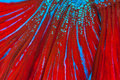 Texture of red tail siamese fighting fish (betta splendens) Royalty Free Stock Photo
