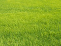 Texture of rice field Royalty Free Stock Photo