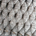 Texture scales fish close up natural background Royalty Free Stock Image