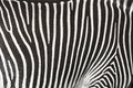 Texture of the skin of a zebra. Royalty Free Stock Photo