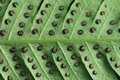 Leave texture of fern with spore Royalty Free Stock Photo