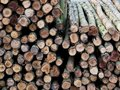 Texture of stacked pine logs cut into long pieces, Royalty Free Stock Photo