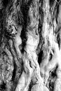 A texture stripe of an old tree, very good for the texture background Royalty Free Stock Photo