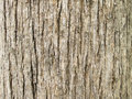 Texture Of Teak Tree Bark Back...