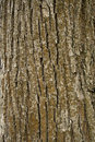 Texture of tree bark Royalty Free Stock Photo