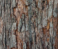 The texture of tree bark close up natural in rich colors Royalty Free Stock Images