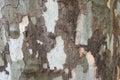 Texture of tree bark platanus