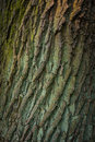 Texture of the tree bark in the sunset light, abstract background Royalty Free Stock Photo