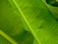 Texture of tropical leaf Royalty Free Stock Photo