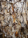 Texture of trunk with damaged bark upper layer the bard was partly torn off somehow Royalty Free Stock Photo