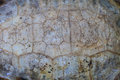 Texture of turtle carapace death Stock Images