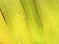 Texture of yellow banana leaf old banana leaf Royalty Free Stock Photo