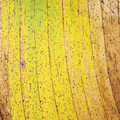 Texture of yellow banana leaf old banana leaf background Royalty Free Stock Photo