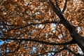 Textured autumn background of yellowed leaves on tree branches against the blue sky Royalty Free Stock Photo
