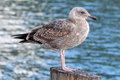 Textured female gull against mottled blue sea Stock Image