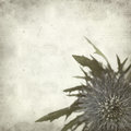 Textured old paper background with blue sea holly Royalty Free Stock Photos